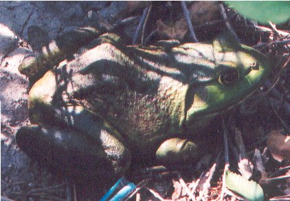 Backyard Bullfrog