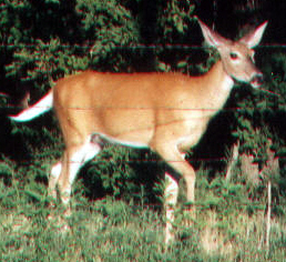 Doe in front of house